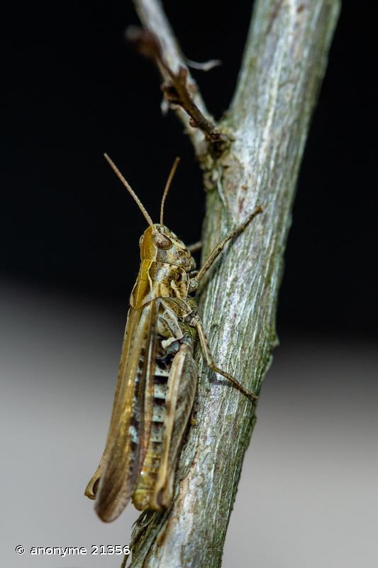 Gomphocerippus brunneus