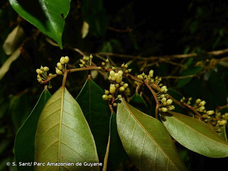 Chrysophyllum argenteum subsp. auratum