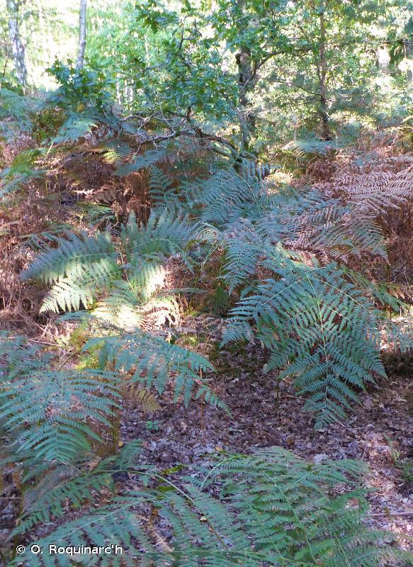 E5 - Ourlets, clairières forestières et peuplements de grandes herbacées non graminoïdes - EUNIS