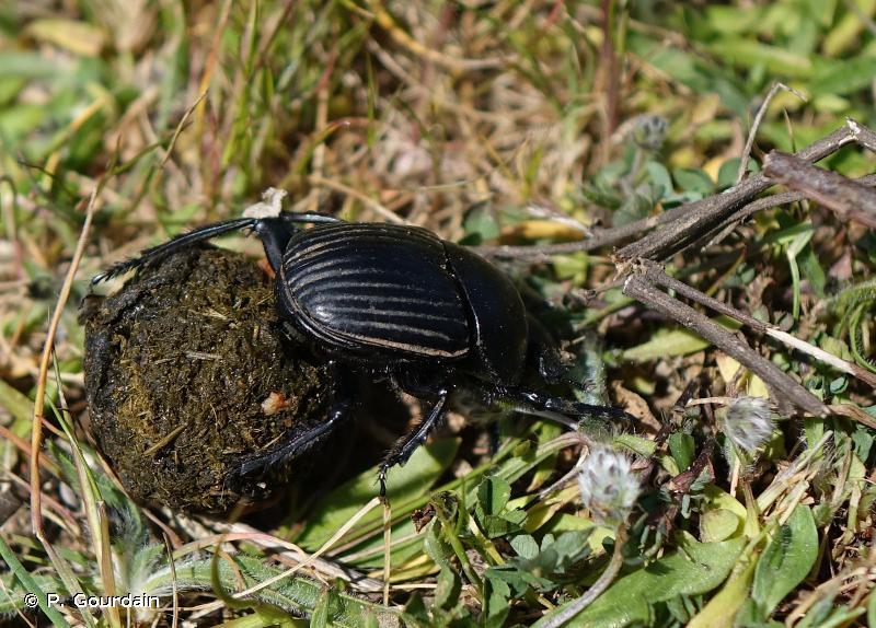 Scarabaeus laticollis