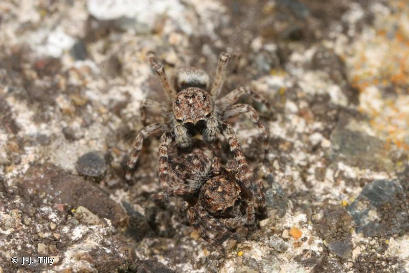 Attulus pubescens