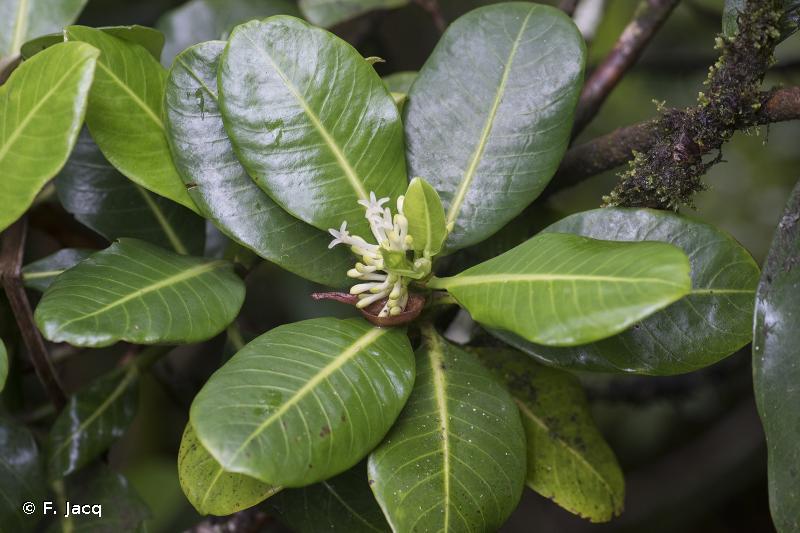 Psychotria toviana