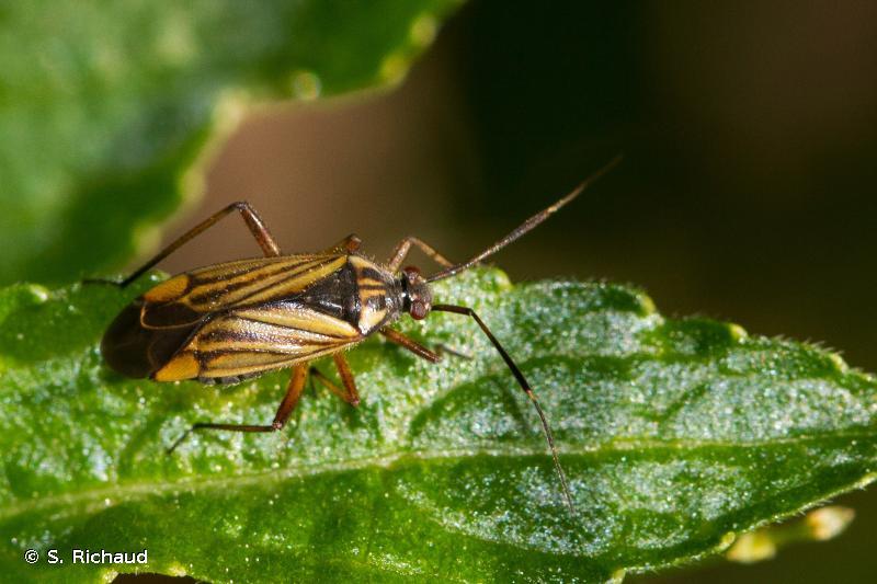 Horwathia lineolata