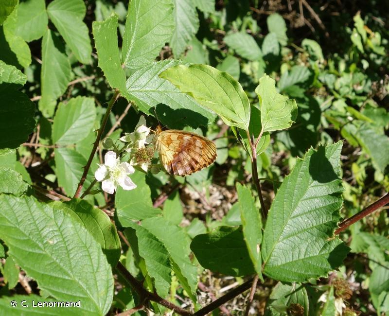 Brenthis daphne