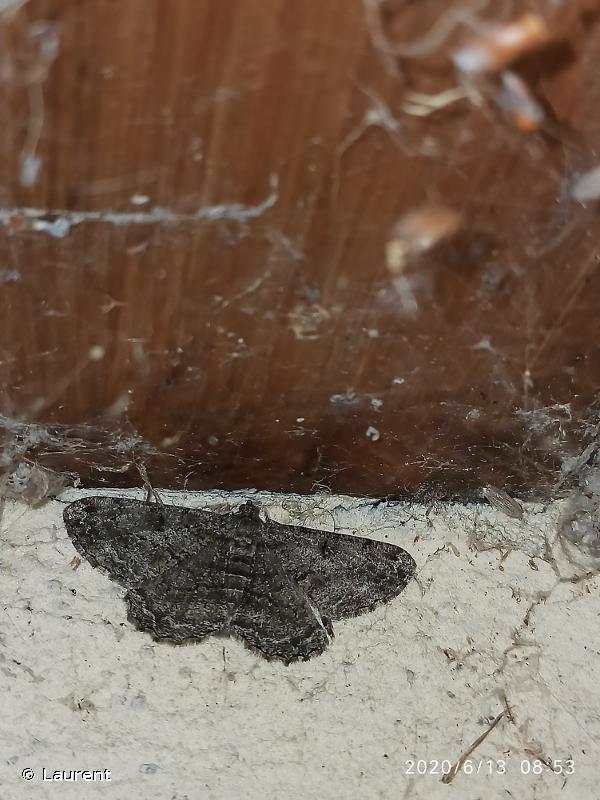 Peribatodes rhomboidaria