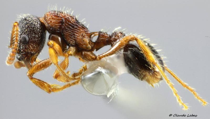 Myrmica lobulicornis