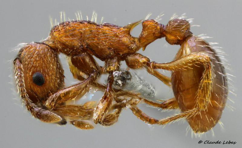 Myrmica specioides