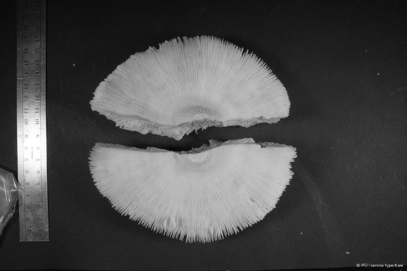 Heliofungia actiniformis