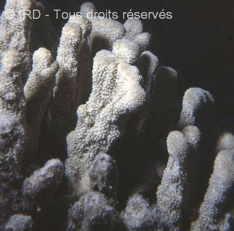 Isopora palifera