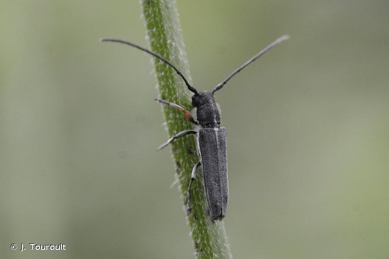 Phytoecia cylindrica