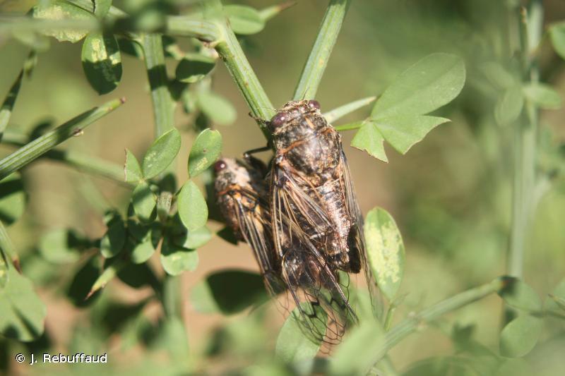 Cicadatra atra