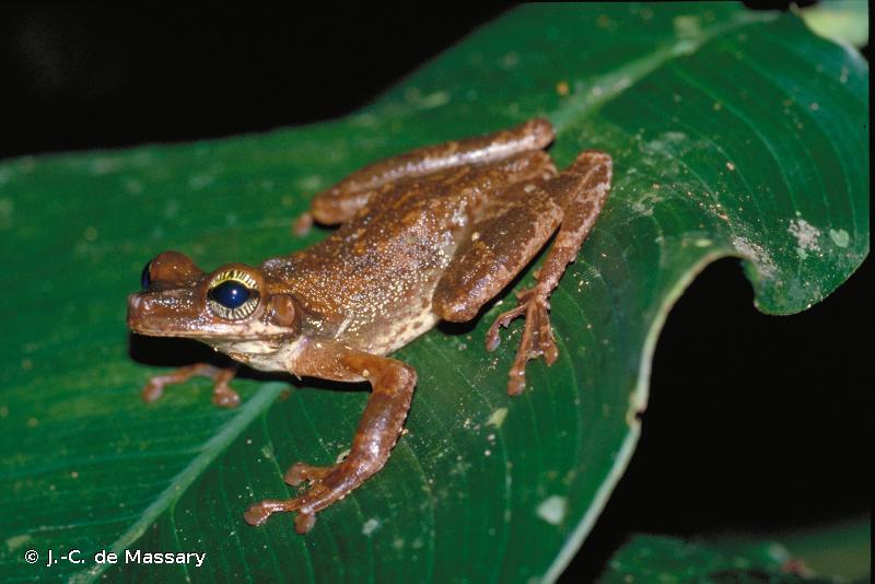 Osteocephalus taurinus