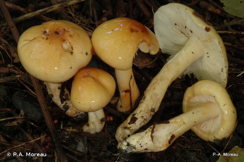Limacella ochraceolutea