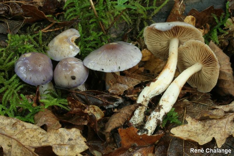 Cortinarius croceocaeruleus