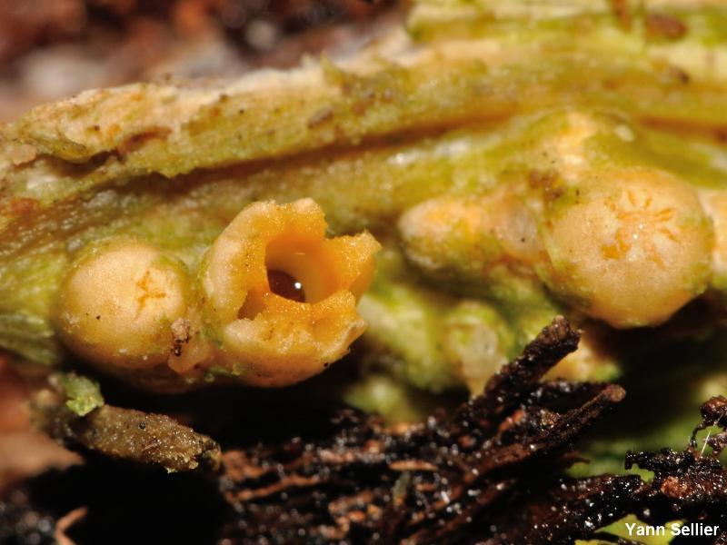Sphaerobolus stellatus