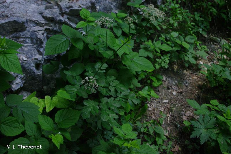 Laserpitium nestleri