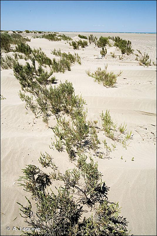 1420-1 - Fourrés halophiles thermo-atlantiques - Cahiers d'habitats
