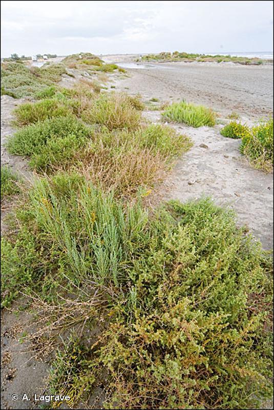 B1.1 - Laisses de mer des plages sableuses - EUNIS