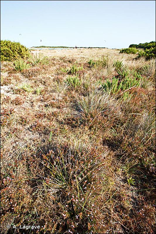 2210 - Dunes fixées du littoral du <em>Crucianellion maritimae</em> - Habitats d'intérêt communautaire