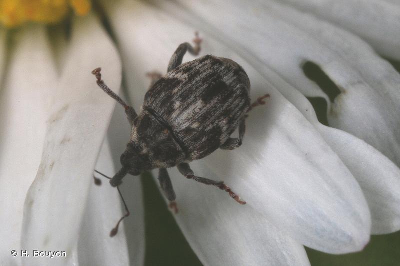 Microplontus rugulosus