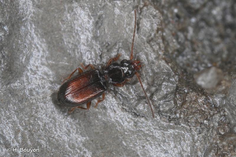 Perileptus areolatus