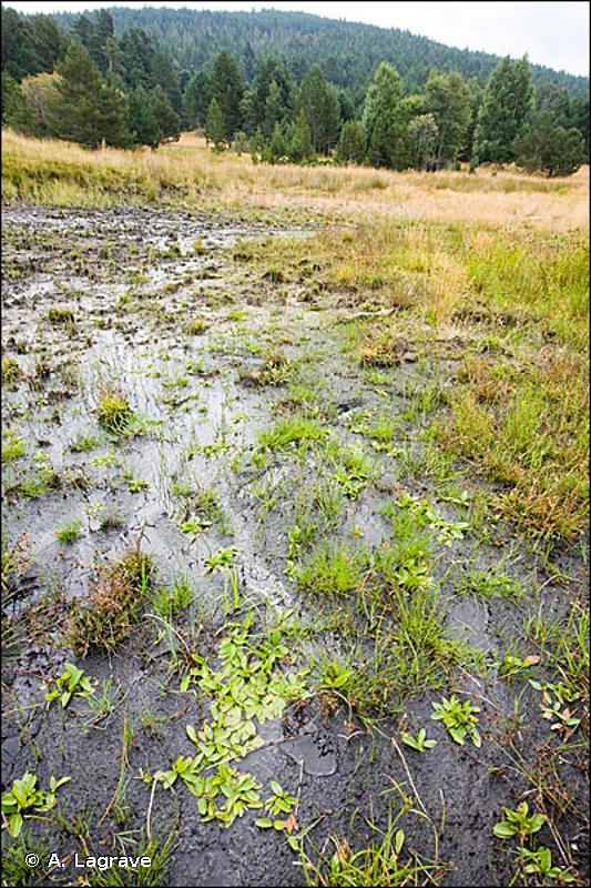 22.3 - Communautés amphibies - CORINE biotopes