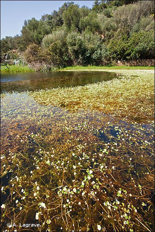 22.432 - Communautés flottantes des eaux peu profondes - CORINE biotopes