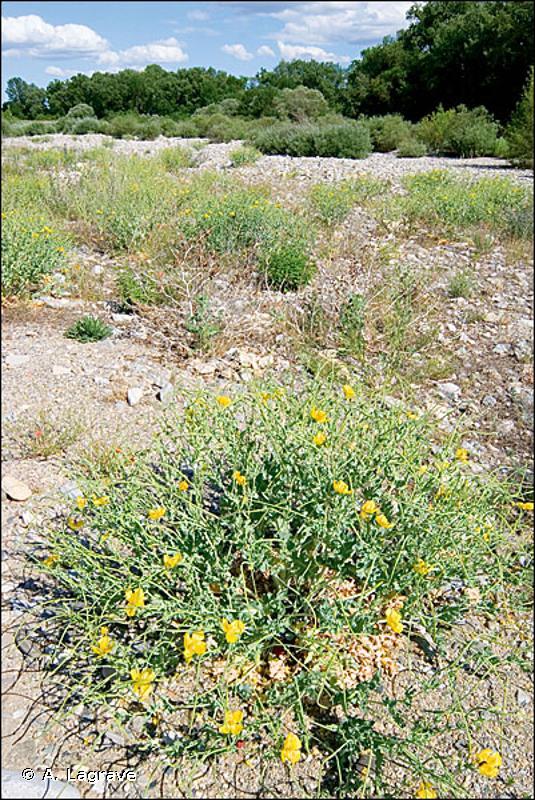 24.225 - Lits de graviers méditerranéens - CORINE biotopes