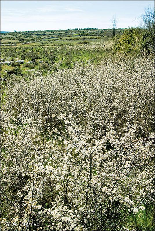 31.8122 - Fruticées subméditerranéennes de Prunelliers et de Troènes - CORINE biotopes