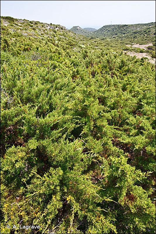 32.1321 - Matorral arborescent, intérieur, à Juniperus phoenicea - CORINE biotopes