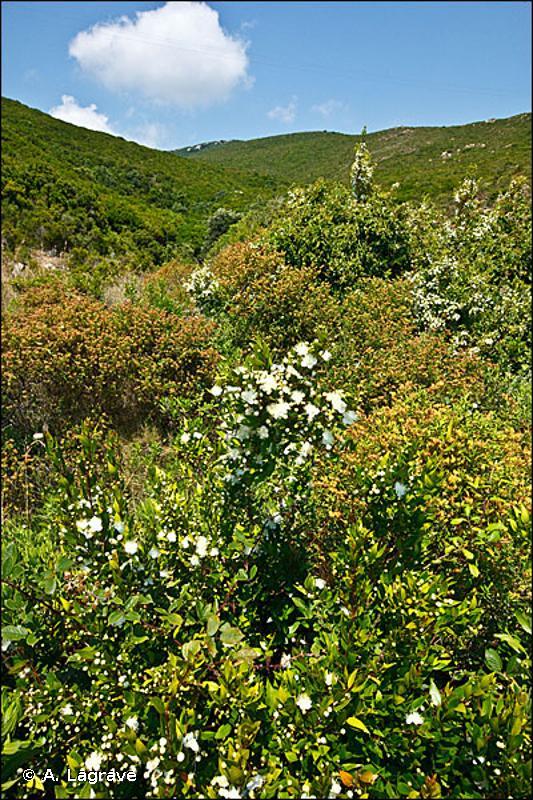 32.218 - Fourrés à Myrtes - CORINE biotopes