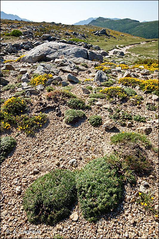 36.371 - Pelouses écorchées en gradins, oro-méditerranéennes de Corse - CORINE biotopes