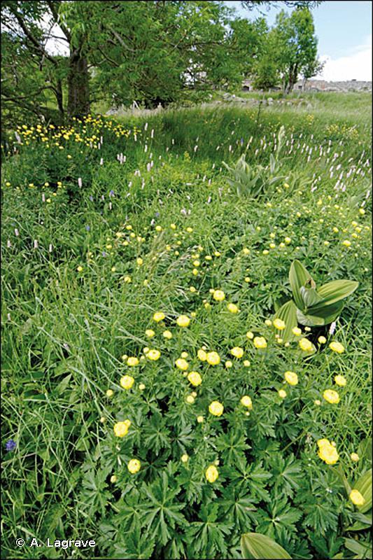 37.212 - Prairies humides à Trolle et Cirse des ruisseaux - CORINE biotopes