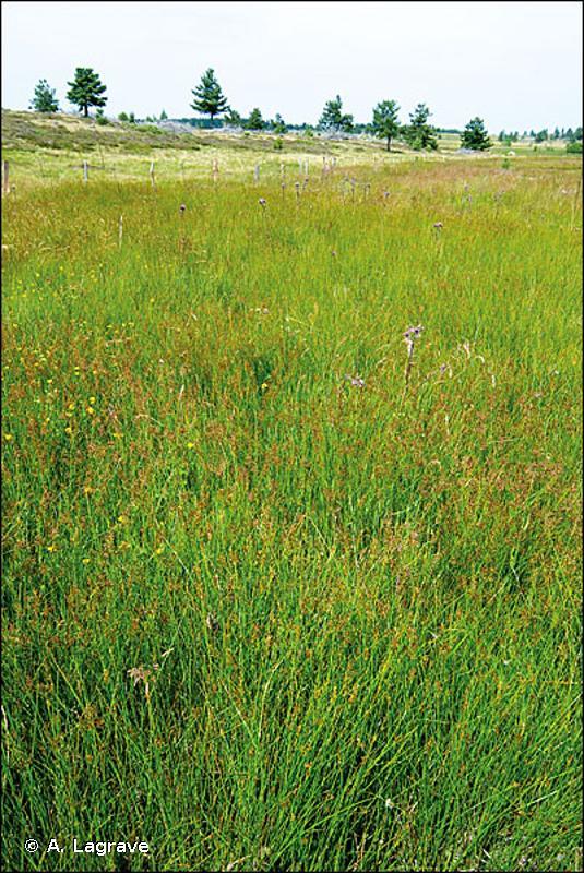 37.31 - Prairies à Molinie et communautés associées - CORINE biotopes