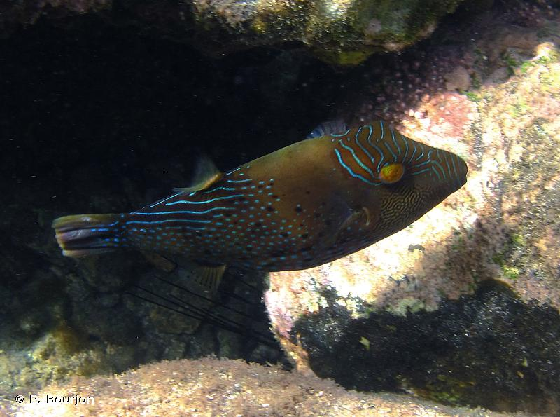 Canthigaster amboinensis
