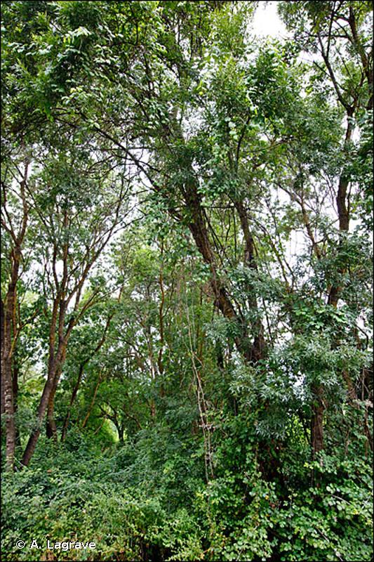 44.63 - Bois de Frênes riverains et méditerranéens - CORINE biotopes