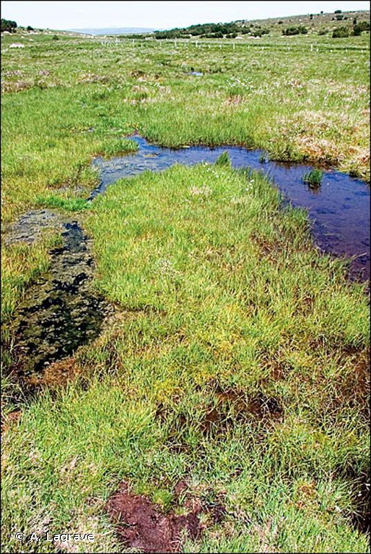 D2.222 - Bas-marais subatlantiques à Laîche vulgaire, Laîche blanchâtre et Laîche étoilée - EUNIS