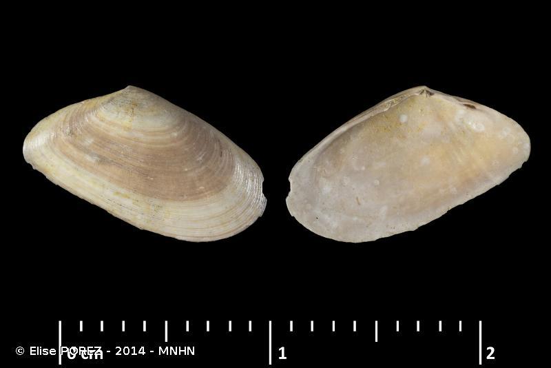 Moerella donacina