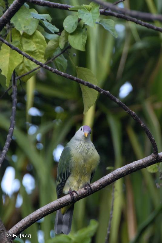 Ptilinopus coralensis