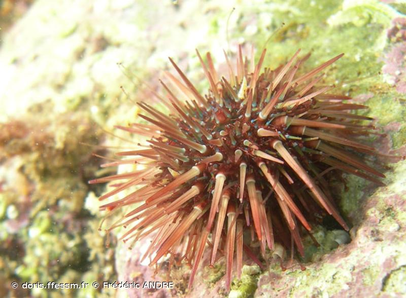 Psammechinus microtuberculatus