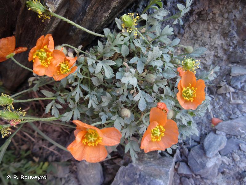 Papaver alpinum subsp. suaveolens