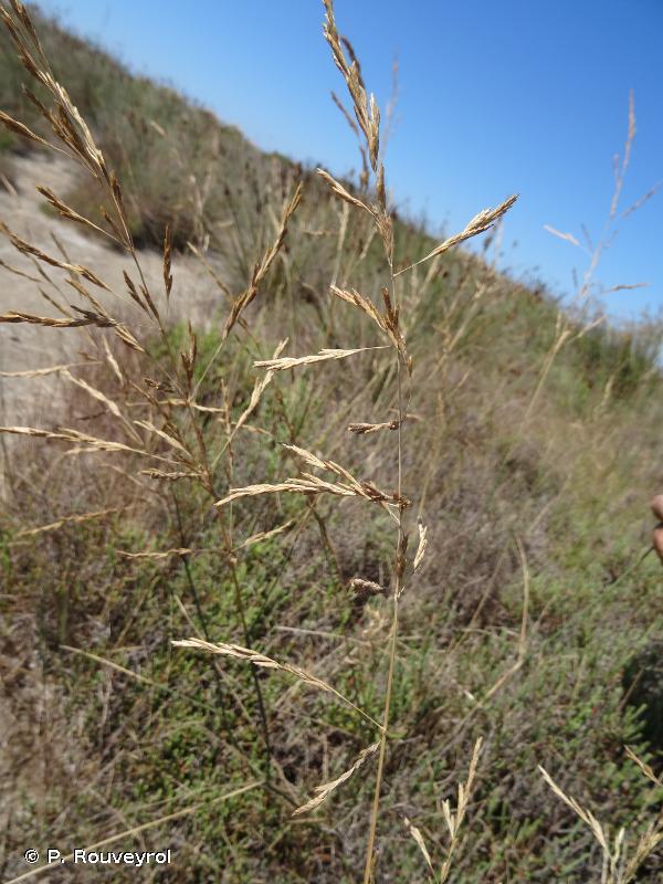 Puccinellia festuciformis subsp. lagascana