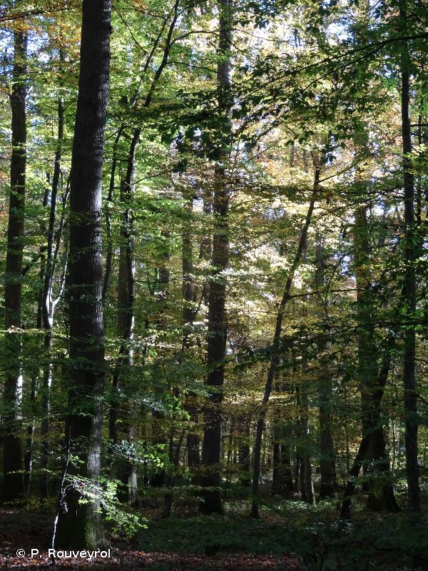 9120 - Hêtraies acidophiles atlantiques à sous-bois à <em>Ilex</em> et parfois à <em>Taxus</em> (<em>Quercion robori-petraeae</em> ou <em>Ilici-Fagenion</em>) - Habitats d'intérêt communautaire