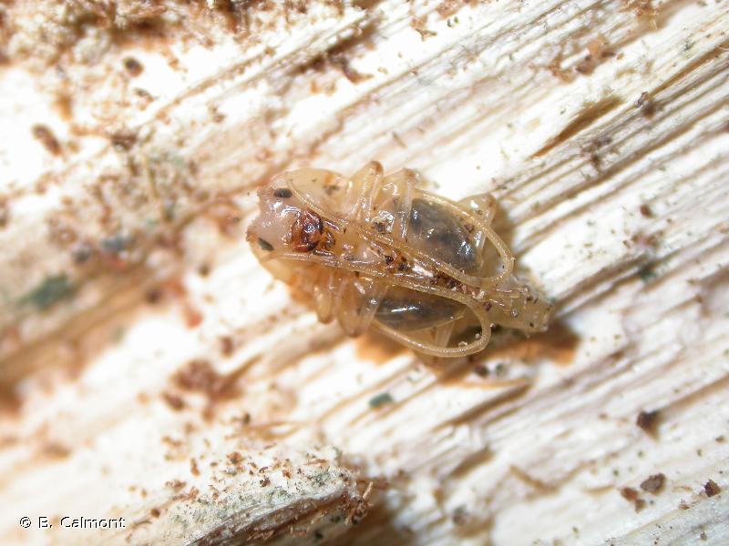Pogonocherus hispidulus