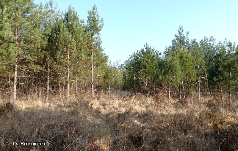 G3.F12 - Plantations de Pins indigènes - EUNIS