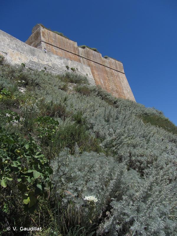 <em>Cinerario maritimae - Artemisietum arborescentis</em> Géhu, Biondi & Géhu‑Franck 1988 - Prodrome des végétations de France décliné (PVF2)