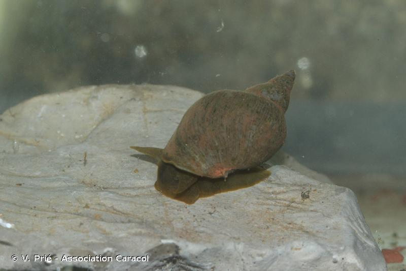 Lymnaea stagnalis