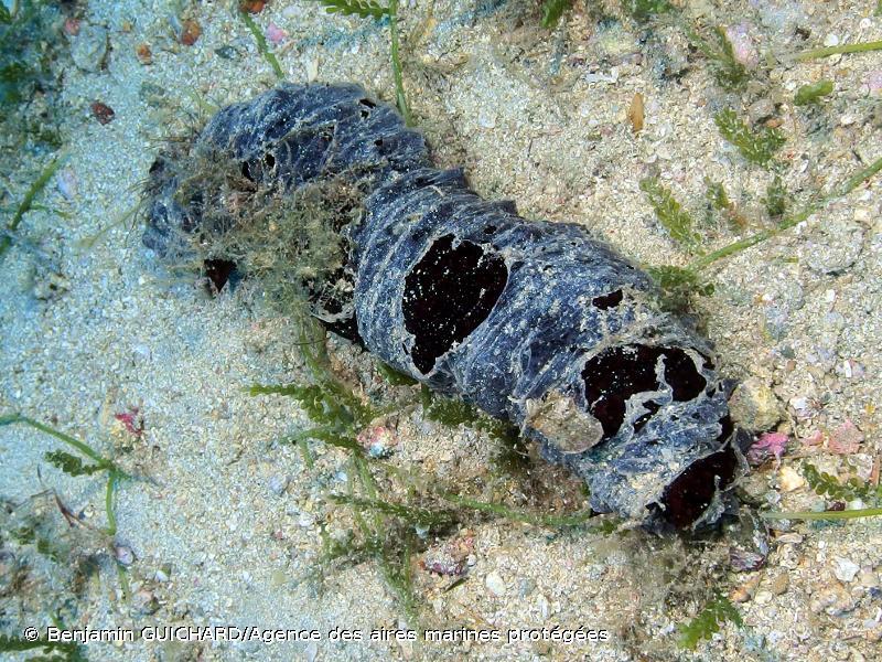 Holothuria (Holothuria) tubulosa
