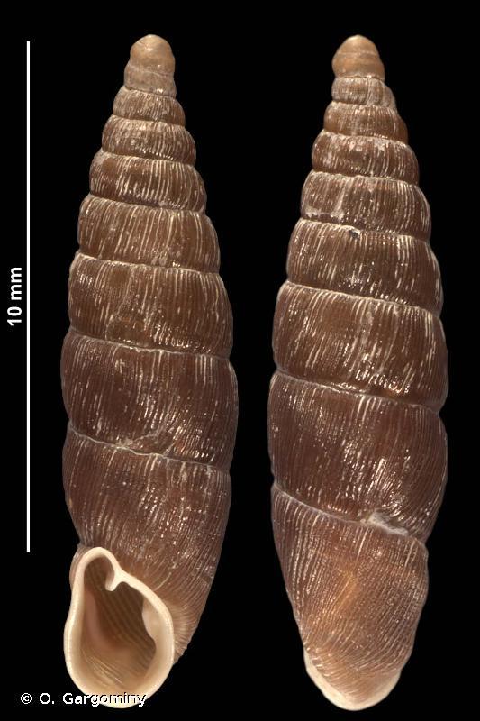 Clausilia dubia geretica