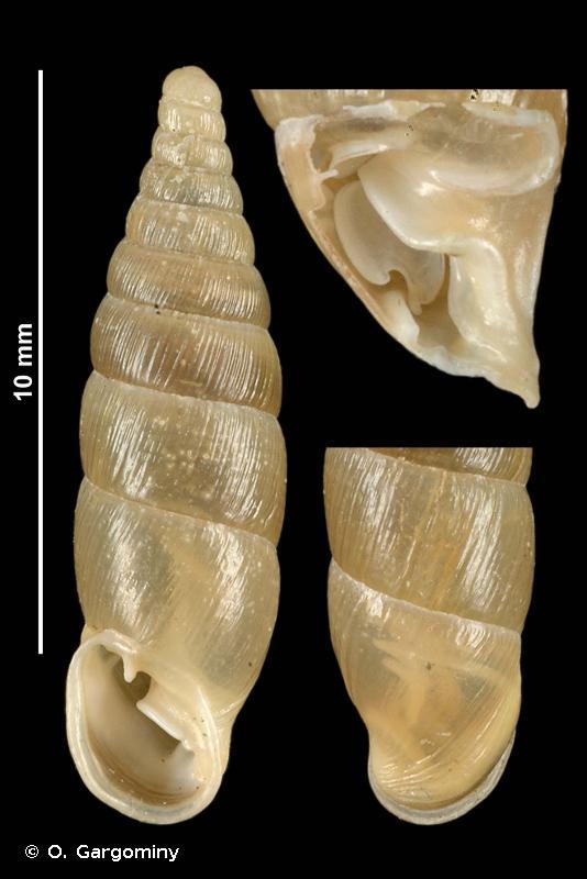 Cochlodina triloba